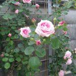 うちのつる薔薇